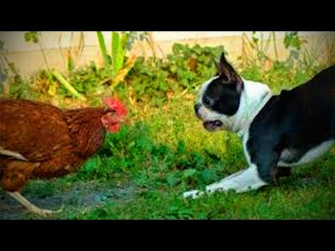 Cute Chickens 🐔🐔 Playful Funny Chickens (Full) [Funny Pets]