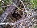 Echidna in the wild