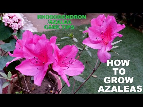 How to Grow Azaleas (Flowering Plant for Every Garden)