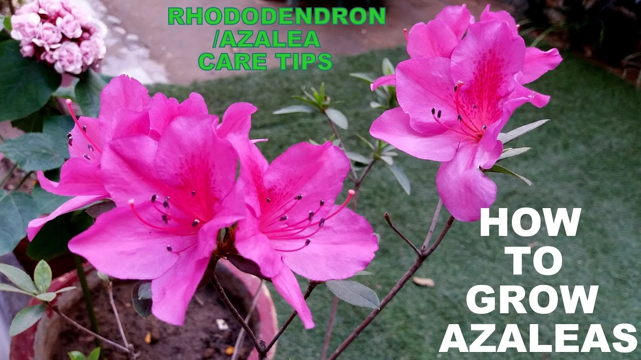 How To Grow Azaleas Flowering Plant
