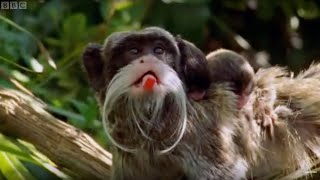 Dysfunctional families - the Emperor Tamarin - Clever Monkeys - BBC
