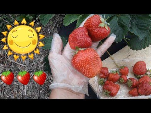 Земляника садовая крупноплодная летом 2019 года!!!