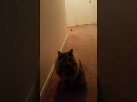 Siberian cat plays fetch and wipes out...