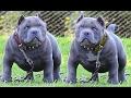 DOG BREED Best Wild Fastest Dog Breed [Mr Fahey]
