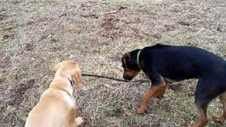 Golden Retriever Labrador Mix Puppy Fighting His Friend For A Stick Cute