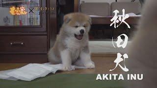 今、禁断の扉が開かれる!?秋田犬の子犬の大脱走のはじまりはじまり!