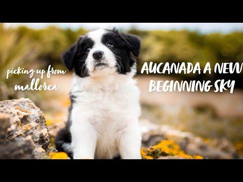 Border Collie Puppy - picking up