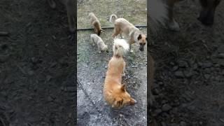 Железнодорожные собаки.