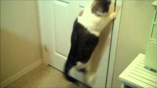 Sir Isaac The Door Master (cat opens doors)