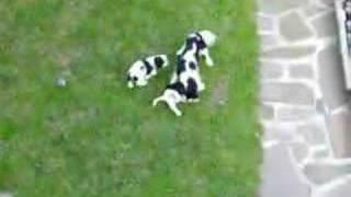 Puppies Of Cavalier King Charles Spaniel - Tmavá Hviezda