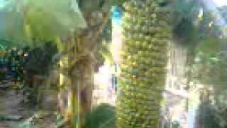 Pohon pisang aneh.3gp