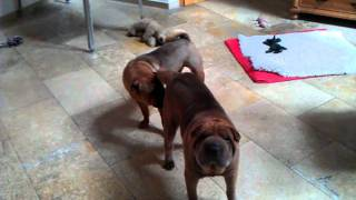 Funny Shar Pei Dog Fight