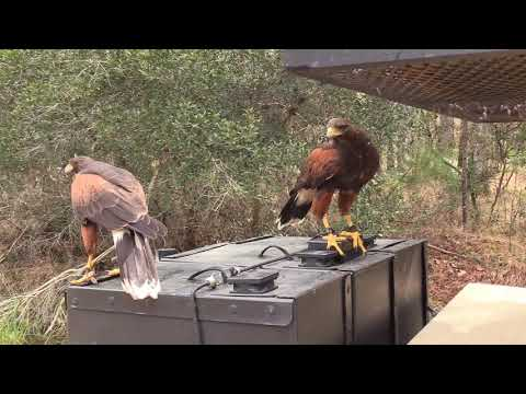 Falconry - South Georgia Squirrel Hawking With Harris Hawks And Jagdterrier
