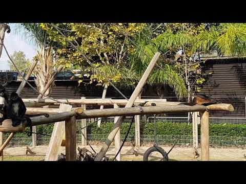 Spider monkeys and their enclosure