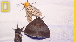 Why Moths are Obsessed with Lamps | National Geographic
