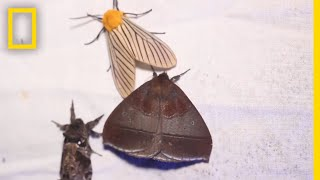 Why Moths are Obsessed with Lamps National Geographic