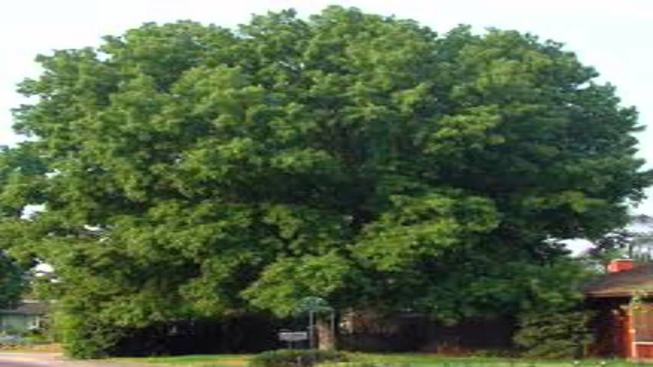 Dabney Nursery - Trees, Trees For Sale, Ornamental Trees