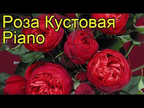 Роза кустовая Пиано (Piano). Краткий обзор, описание характеристик, где купить саженцы