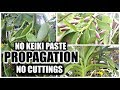 Orchid Propagation Without Cuttings Or Keiki Paste
