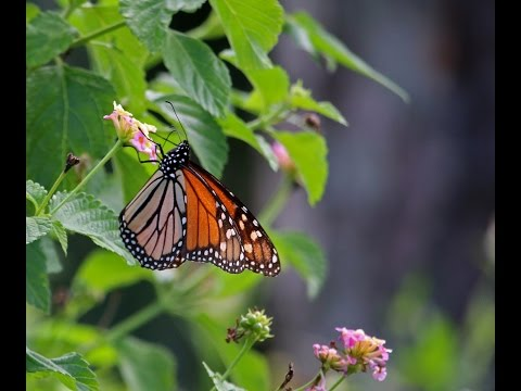 Monarch Migration along the Emerald Coast