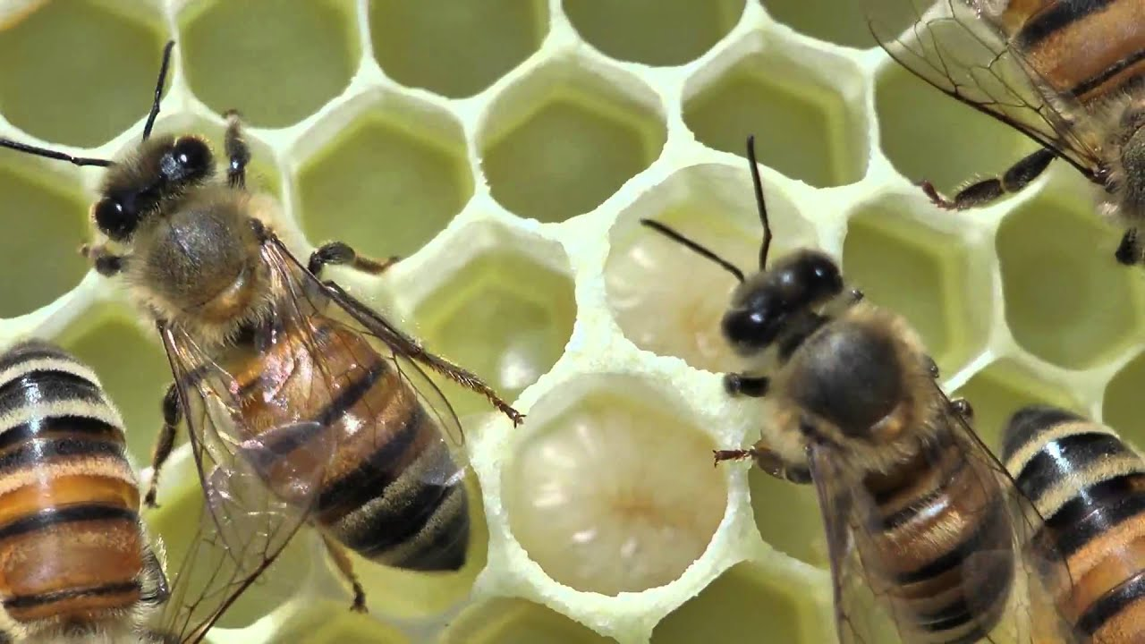 Honey bees close up tending a queen youtube honey bees close up tending a queen sciox Choice Image