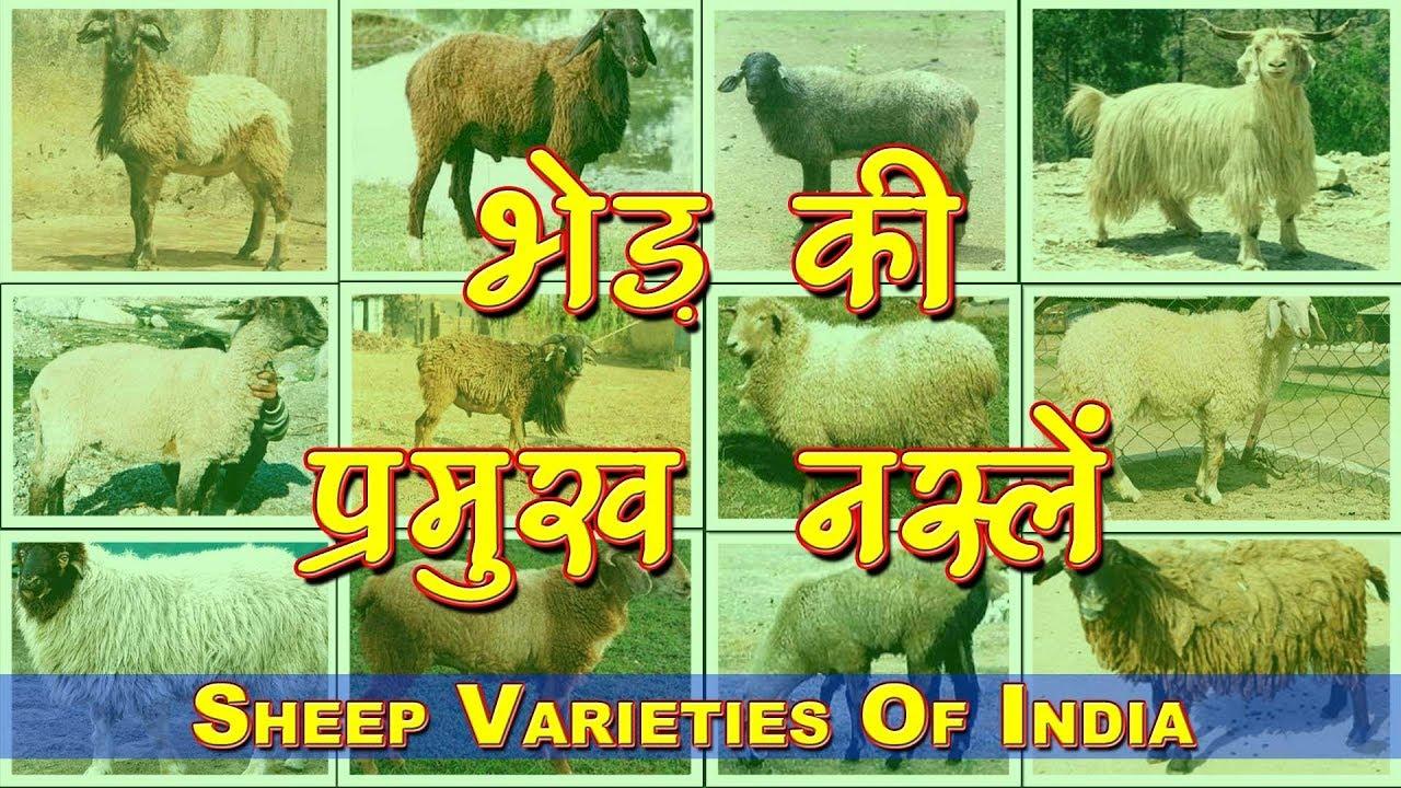 Different Sheep Breeds in India | भेड़ पालन के लिए भारत में विभिन्न नस्लें  | Sheep Farming Business