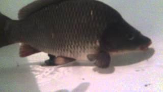 Карп и карась под водой(, 2015-06-10T16:29:20.000Z)