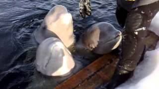 beluga whales singing - one that can't sing beautiful humour from nature