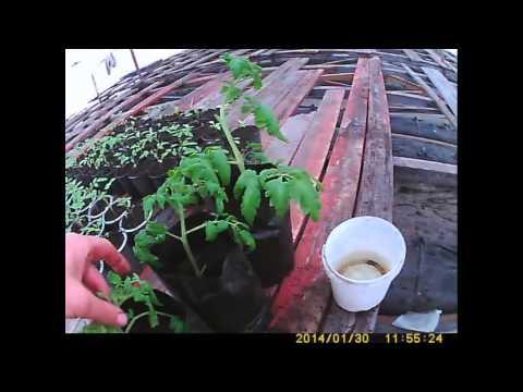 видео: быстрый способ получения раннего помидора   доступный каждому