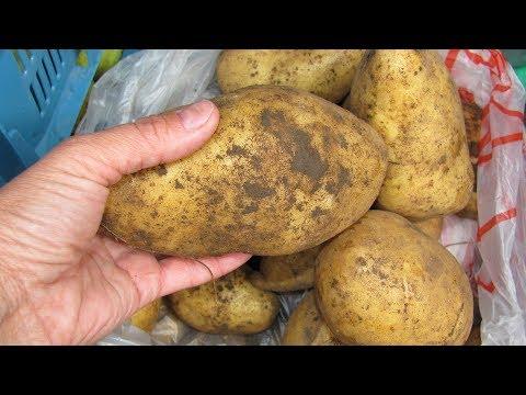 Почему картошка болеет