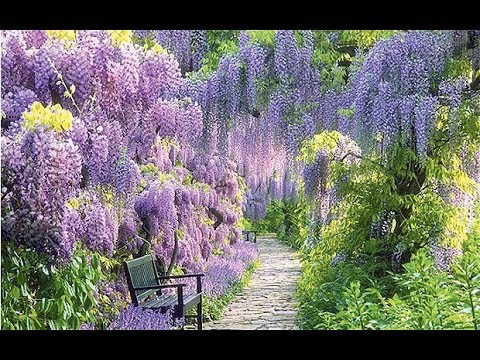 Wisteria virág alagút Japánban ✽ Waltz Of Flowers -Stamatis ...