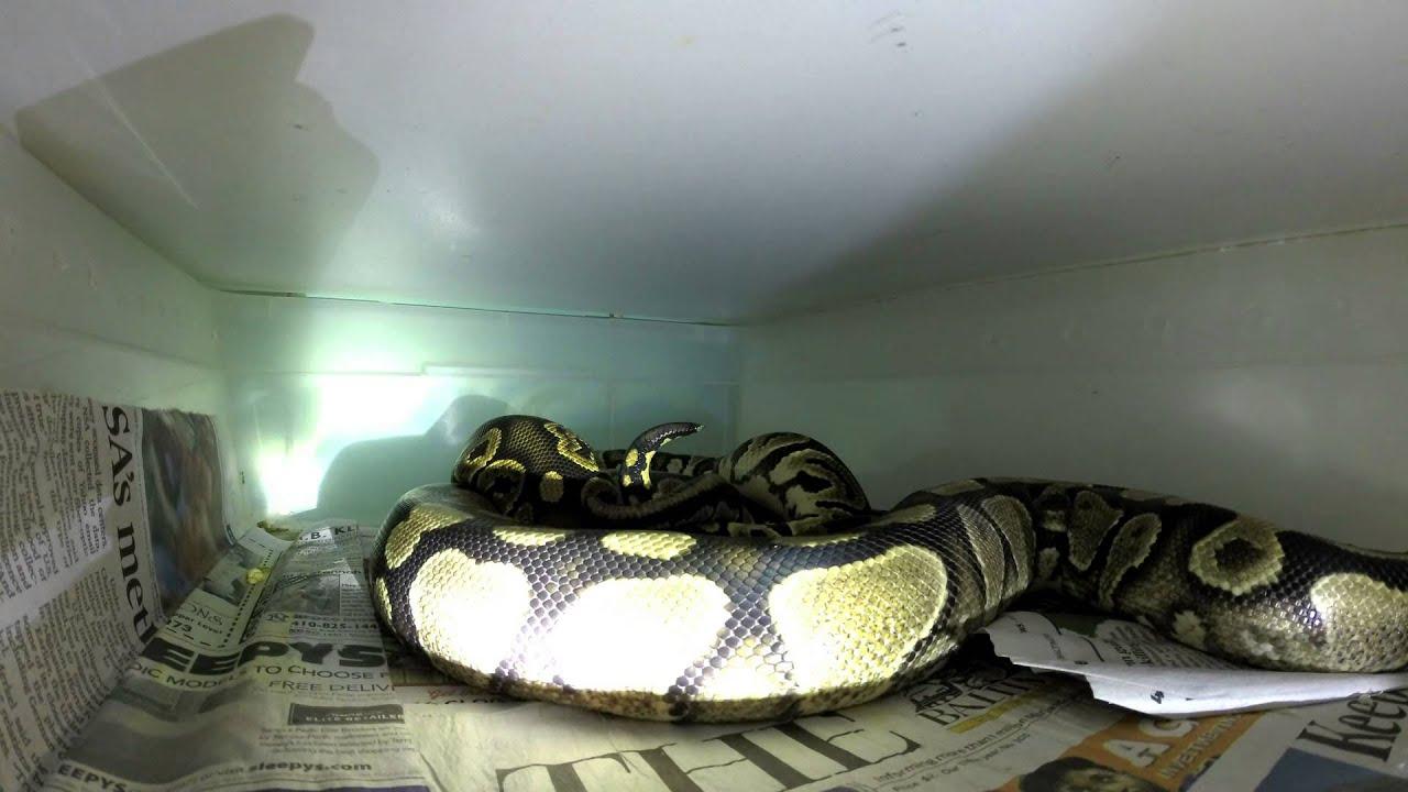 Snake Porn - Youtube-6247