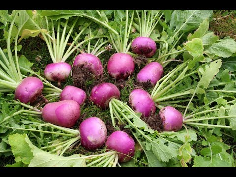 13 Amazing Health Benefits of Turnips