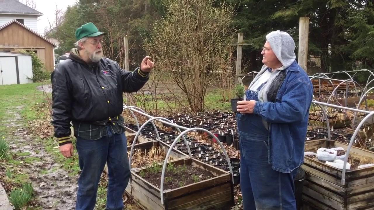 propagating dwarf alberta spruce from cuttings youtube