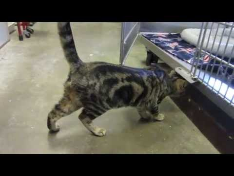 ADOPTED- Dudley who is a Bengal Breed Guest appearance by Beau too