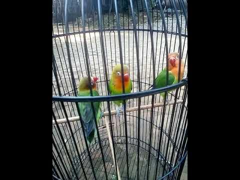 CARA MEMANCING FIGHTER LOVEBIRD PAUD UMUR 2 BULAN