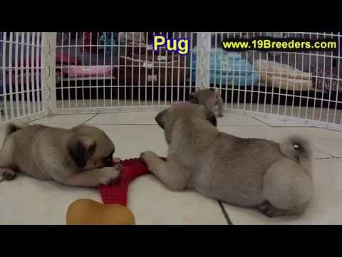 Pug, Puppies, For, Sale, In, Anchorage, Alaska,AK, Fairbanks, Juneau, Eagle River