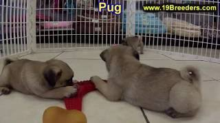 Pug, Puppies, For, Sale, In, Anchorage, Alaska,ak, Fairbanks, Juneau, Eagle River