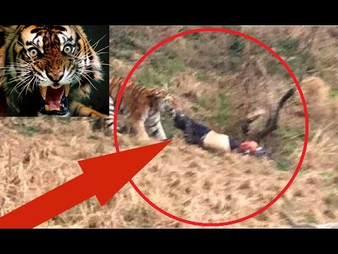 Terrifying Footage:  Three Tigers Kill A Man And Then Get Killed At a Chinese Zoo