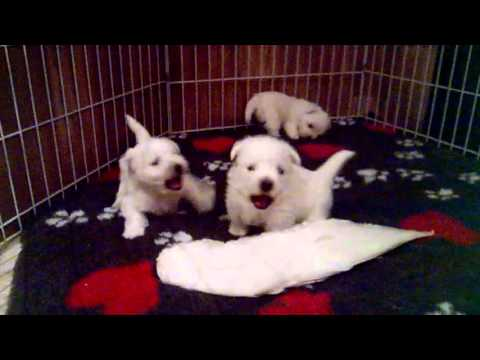 West Highland White Terrier babies