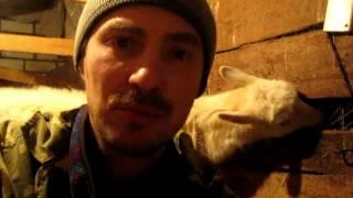 Как готовить дойную козу к запуску.Теоретические и практические советы, подсказки.