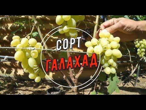 Обзор сорта Галахад  Виноградник Вадима Точилина