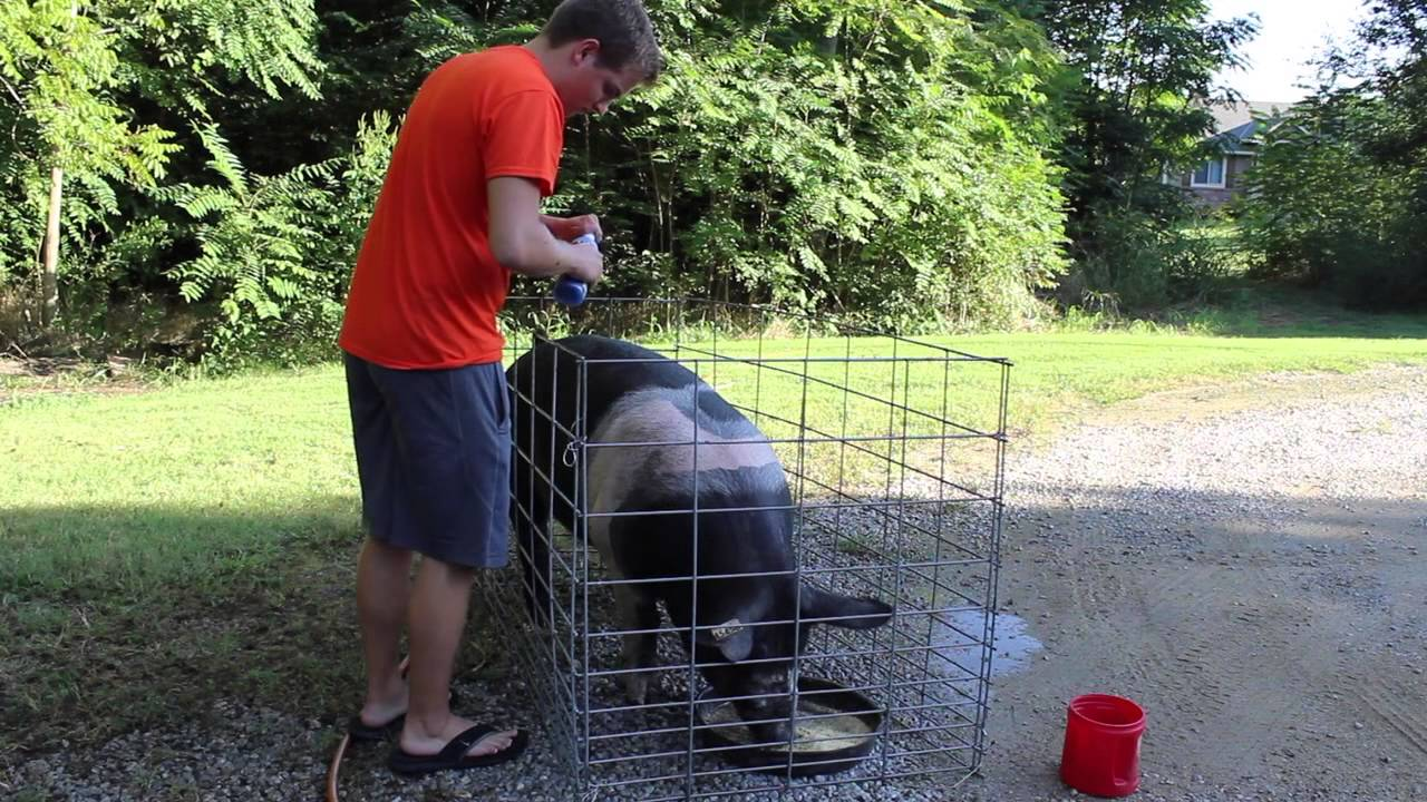 pig washing
