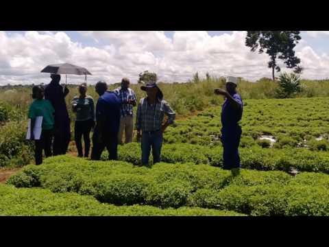 Kanem investments LTD stevia grower in Uganda