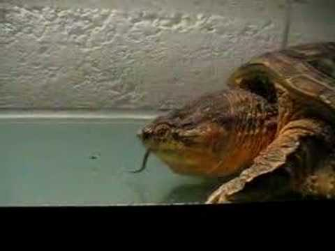 alligator snapping turtle eating mice