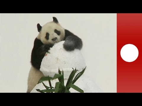 Giant panda goes crazy for snow!