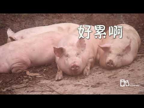 农村50多头猪,奔赴杀场,你见过这样壮观的场面吗?