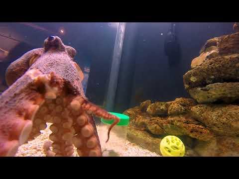 UGA Aquarium: Octopus