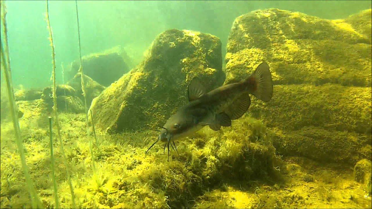 Catfish Habitat | Brown Bullhead Catfish 01 Horned Pout Ameiurus Nebulosus