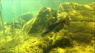 Brown bullhead catfish 01 (Horned pout), Ameiurus nebulosus, Merrymeeting Lake, NH